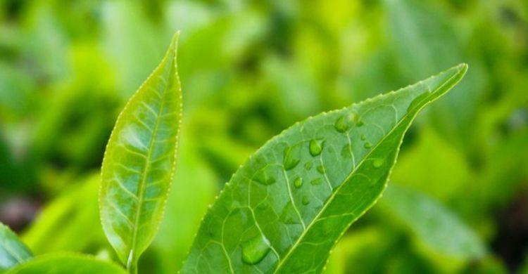 Usos del árbol de té Belleza