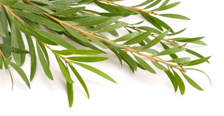 Usos del árbol de té Hogar